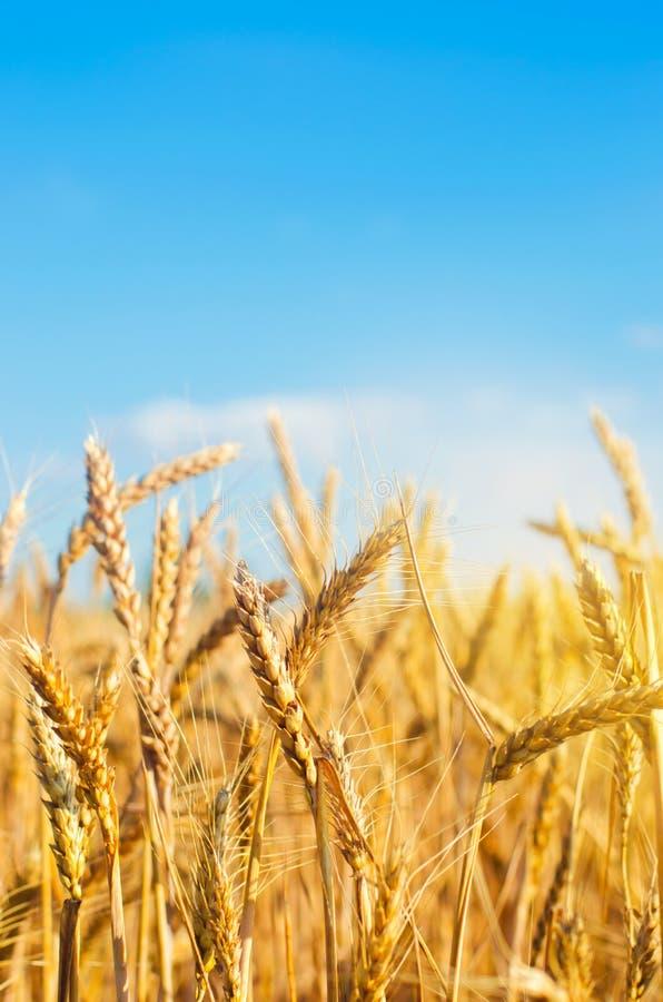 麦田和天空蔚蓝的美丽的景色在乡下 庄稼的耕种 农业和种田 工农业 免版税库存图片