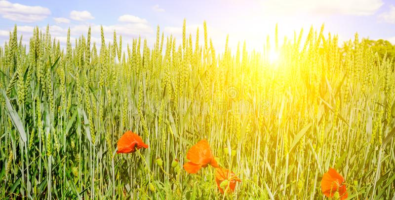 麦田和明亮的日出在蓝天 宽照片 免版税库存图片
