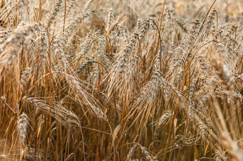 麦田在一好日子 麦子的金黄耳朵 整个五谷特写镜头 一个富有的收获标签设计的想法 免版税库存照片