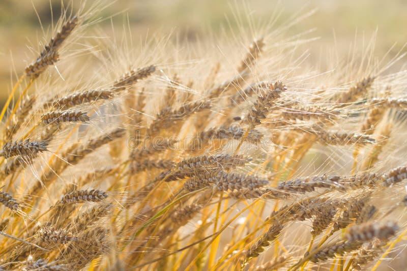 麦田收获,充分地成熟玉米在一个晴朗的夏日,收割期,被日光照射了的特写镜头,纹理表面照片 库存图片
