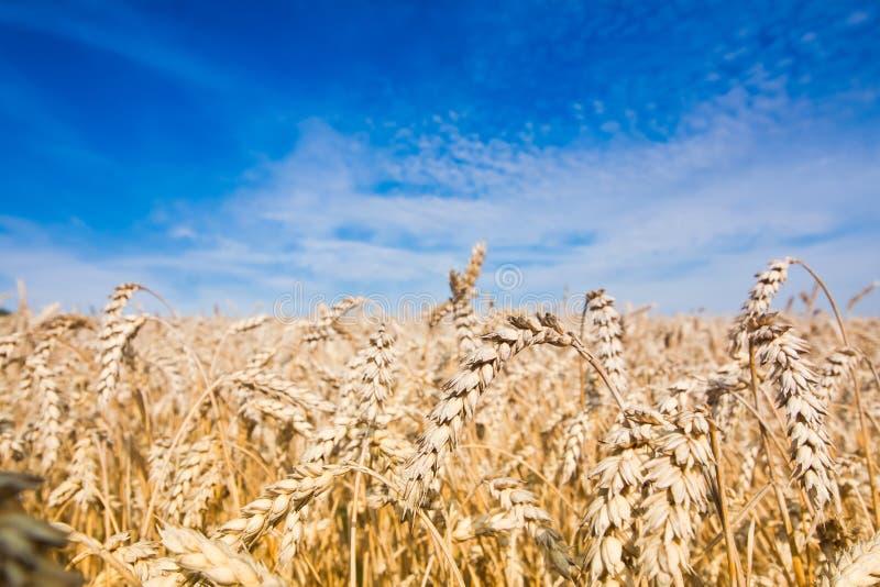 麦田,充分地成熟玉米在一个晴朗的夏日,深蓝天,收割期,特写镜头纹理表面照片 免版税库存照片
