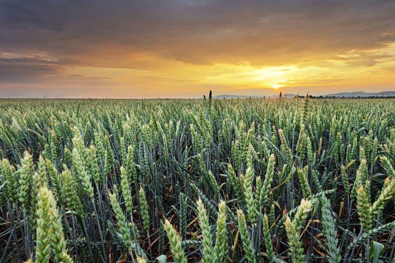 麦田-农业 免版税库存图片