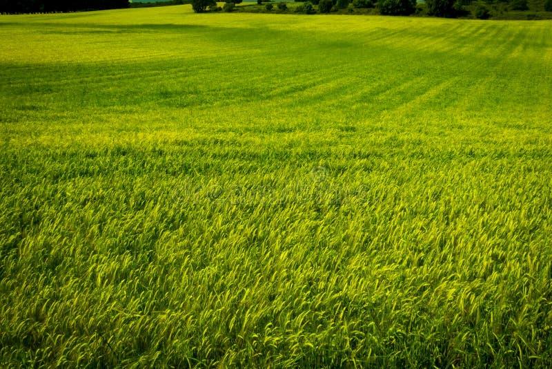 麦田绿色的看法 免版税库存照片