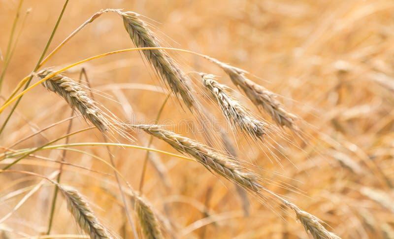 黑麦的领域在夏日,关闭 库存图片