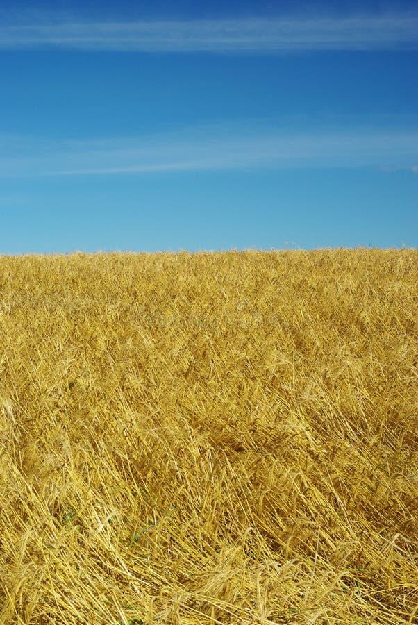 黑麦的领域 图库摄影