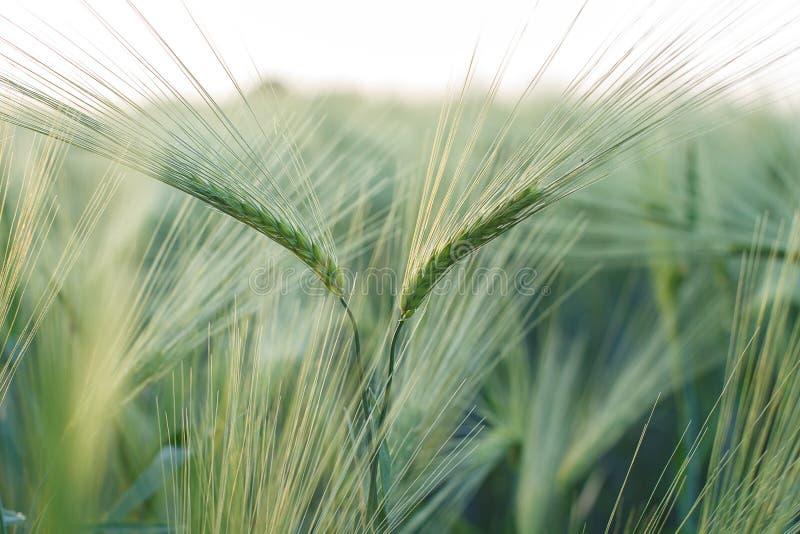 黑麦的绿色耳朵 免版税库存照片