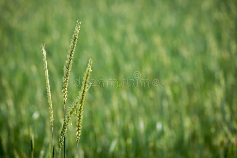 黑麦 免版税库存图片