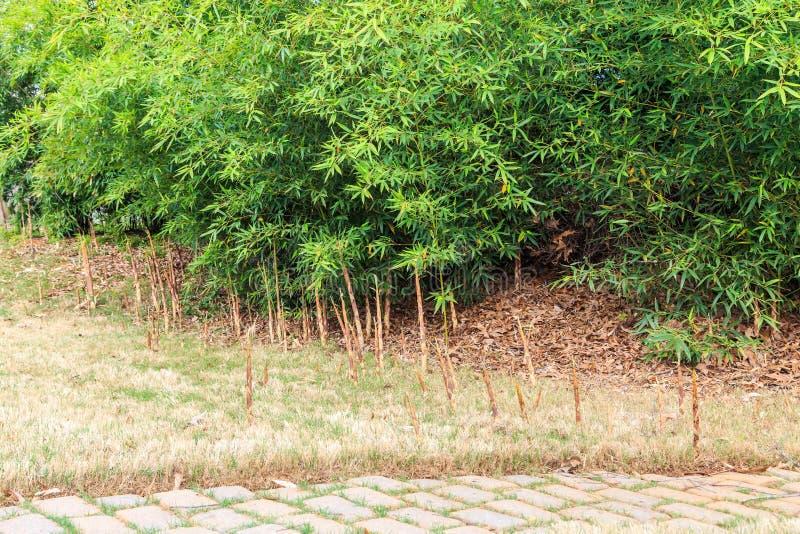 麻烦的竹根吮吸者在住宅草坪 免版税库存图片