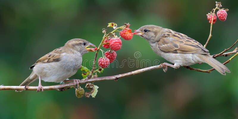 麻雀吃莓藤茎莓果与享用 库存图片