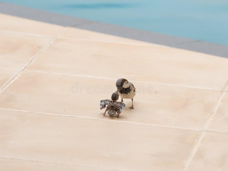 麻雀哺养的年轻人 免版税库存照片