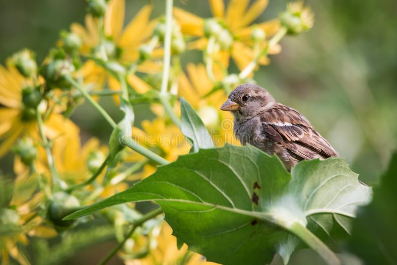 麻雀在开花的杯厂中 图库摄影