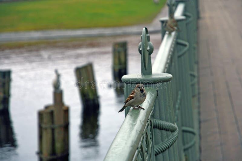 麻雀坐金属篱芭 对彼得和保罗堡垒的入口 免版税图库摄影