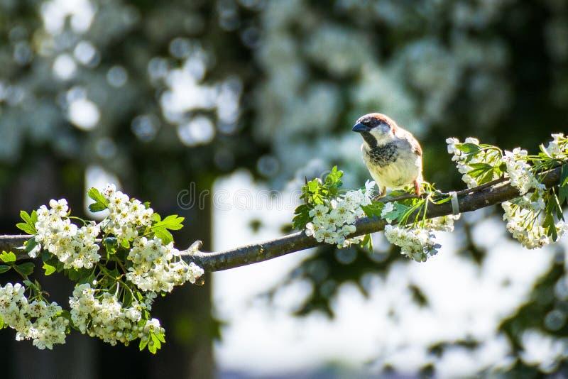 麻雀是小燕雀类鸟家庭  库存图片