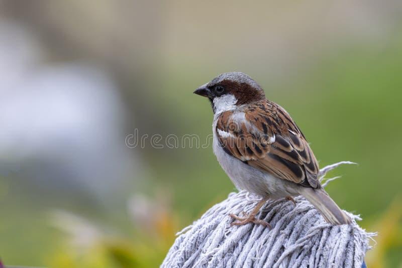 麻雀是街道鸟博克拉尼泊尔 免版税图库摄影