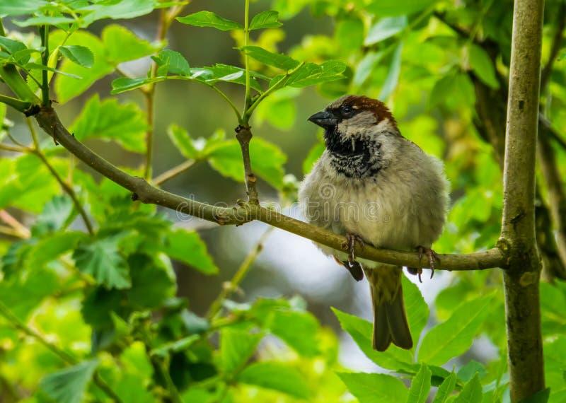 麻雀的特写镜头画象坐树枝,从欧亚大陆的共同的鸟硬币,自然背景 免版税库存照片