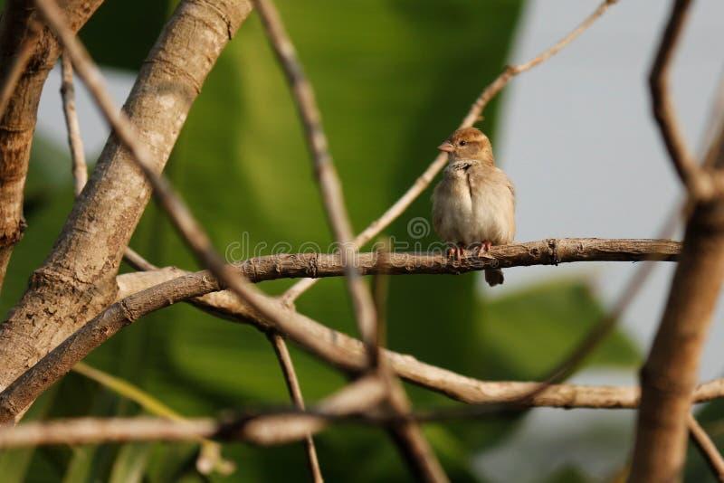 麻雀谈与其他在自然的鸟 免版税库存照片