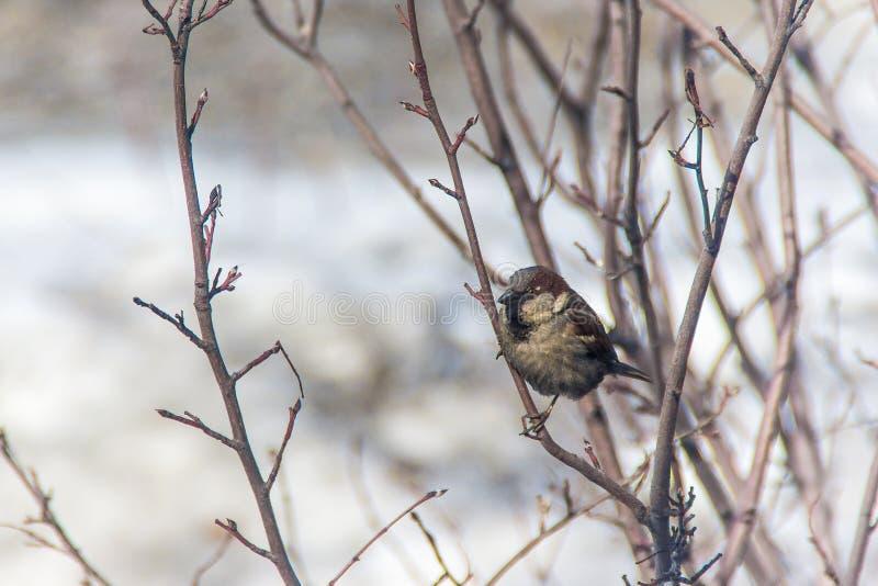 麻雀跳在分支的,冬天,鸟是饿的 库存照片