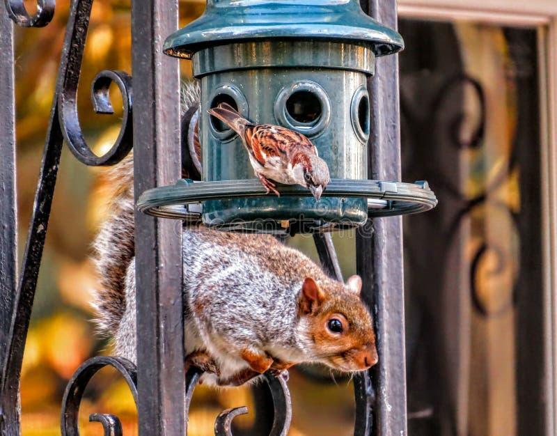 麻雀遇见在饲养者的灰鼠 免版税库存图片
