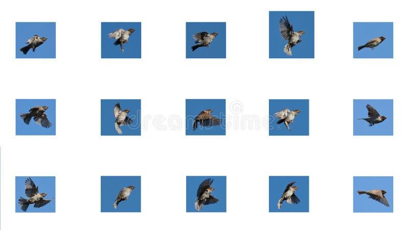 麻雀飞行 库存图片