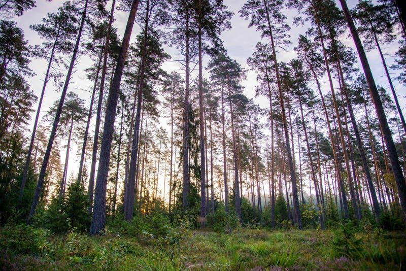 黄昏的杉木森林 免版税库存图片