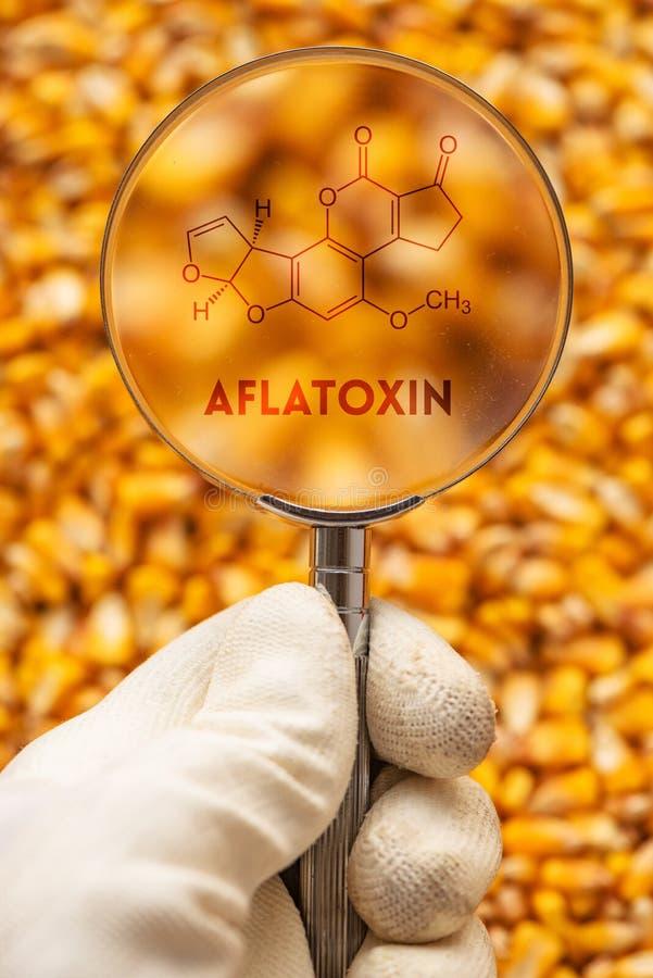 黄曲霉毒素毒致癌物质在被收获的谷核 库存照片
