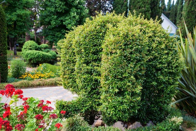 黄杨木潜叶虫绿色大象修剪的花园在晴朗的公园关闭的 免版税库存照片