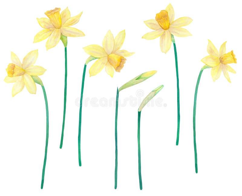 黄水仙或水仙 黄色花 水彩手拉的例证 背景查出的白色 皇族释放例证