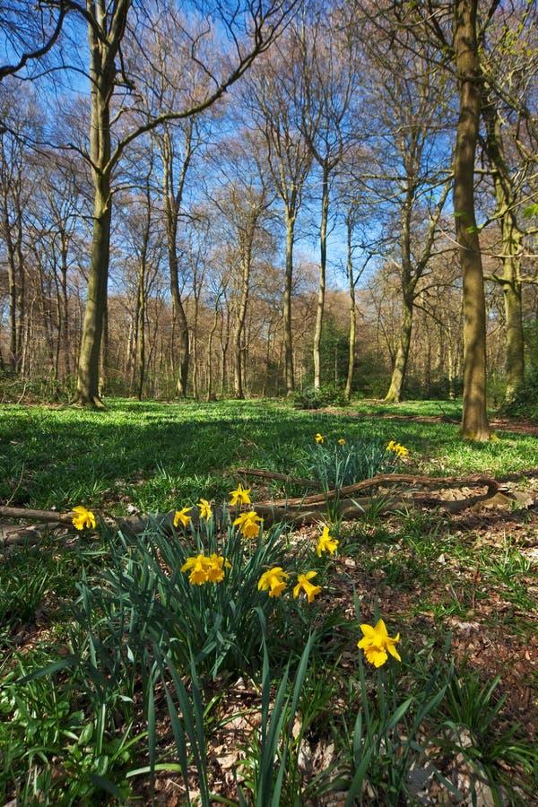 黄水仙早期的森林春天 库存照片