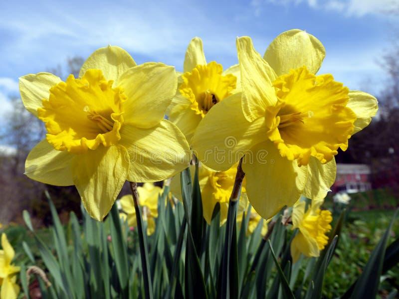 黄水仙春天被日光照射了黄色 图库摄影