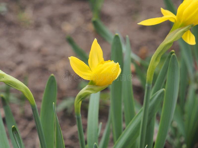 黄水仙绽放的黄色芽 ?? ?? 免版税库存照片