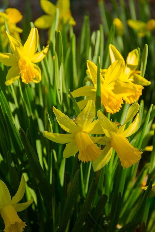 黄水仙花圃的美丽的垂直的射击在春天 免版税图库摄影