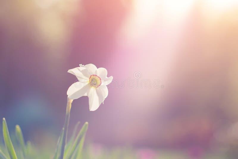 黄水仙花绽放自然看法在有绿草的庭院里当自然背景 图库摄影
