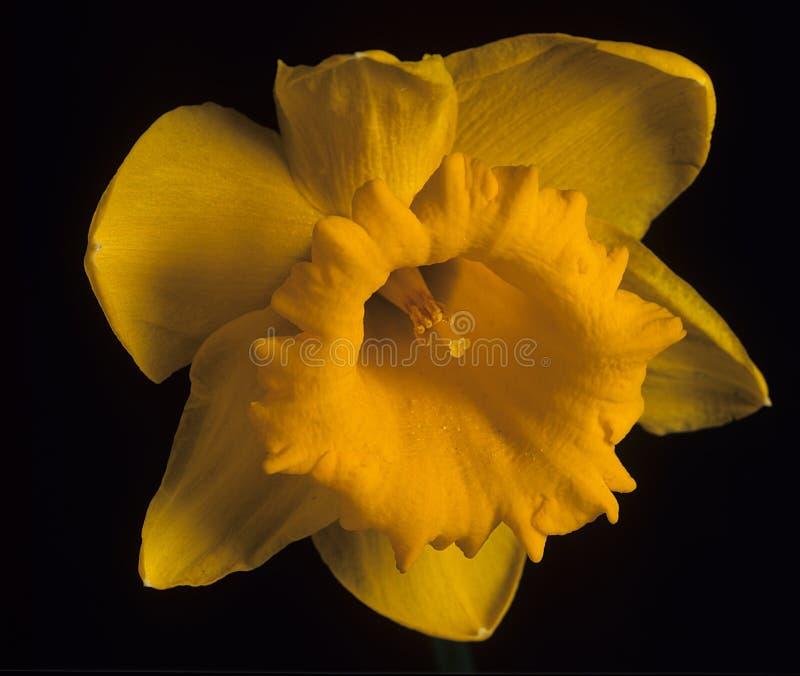 黄水仙花 库存照片
