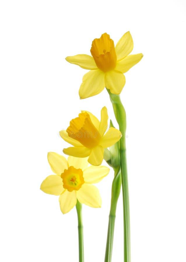 黄水仙黄色 库存照片