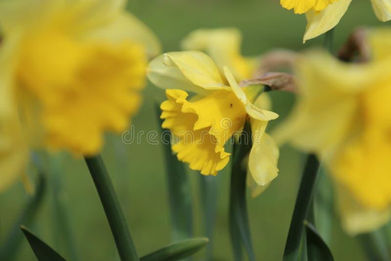 黄水仙-被弄脏的背景 免版税库存照片