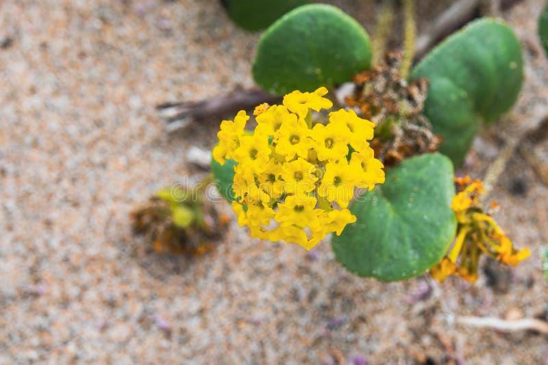 黄沙马鞭草属植物斑叶茼麻latifolia开花在太平洋海岸线的一个海滩的,加利福尼亚 免版税库存照片