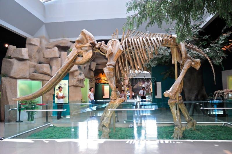 黄河大象化石 免版税库存图片