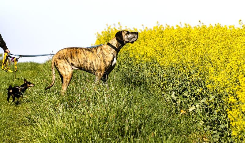 黄油菜田两只狗牵着狗 免版税库存图片