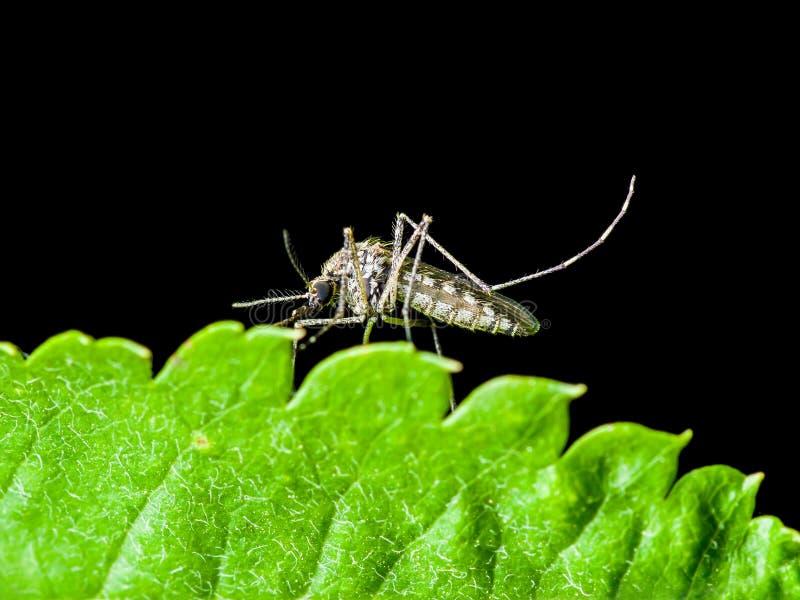 黄热病、疟疾或者Zika病毒传染了蚊子昆虫Mac 免版税库存照片