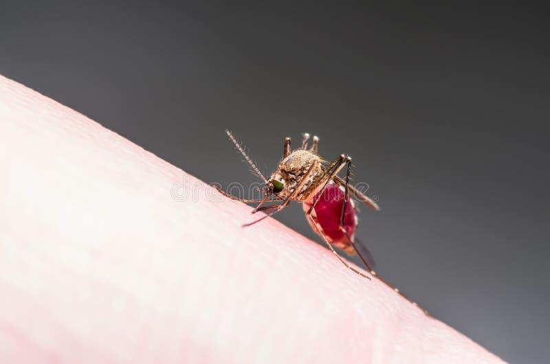 黄热病、疟疾或者Zika病毒被传染的蚊子昆虫宏指令 图库摄影