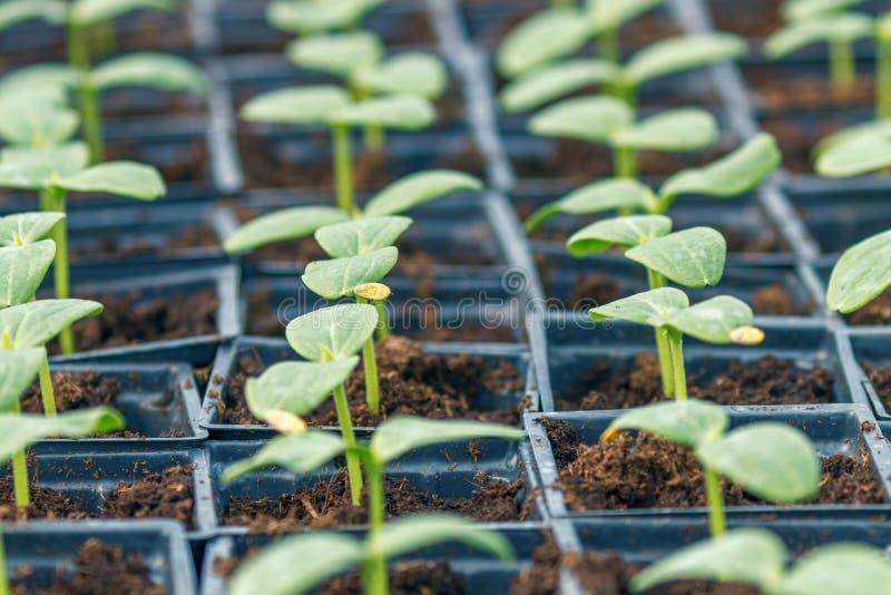 黄瓜新芽温室,盆的黄瓜 发芽的黄瓜 春天幼木 免版税库存图片