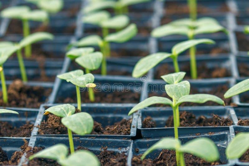 黄瓜新芽温室,盆的黄瓜 发芽的黄瓜 春天幼木 免版税库存照片