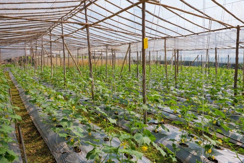 黄瓜的耕种自温室 图库摄影