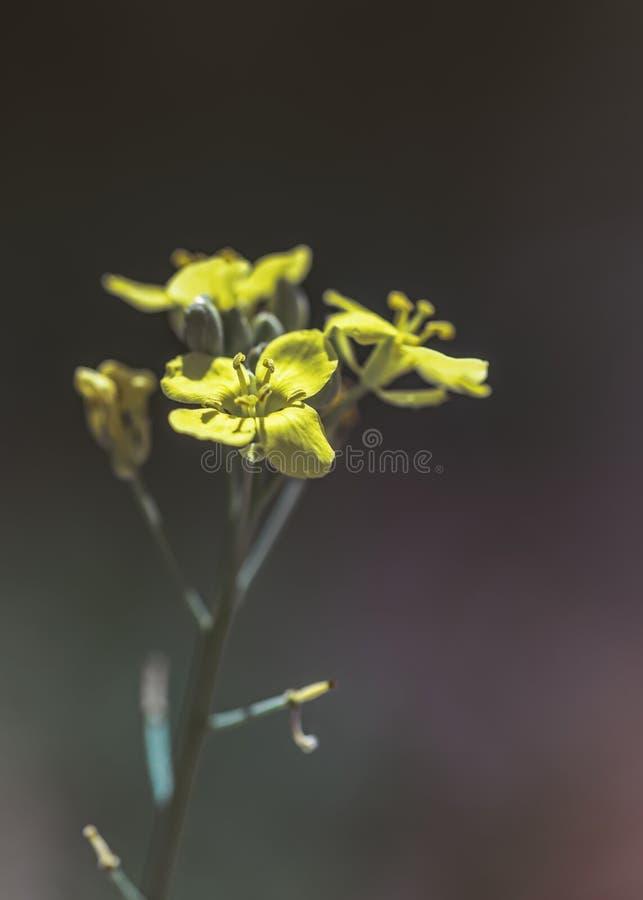 黄疸灰色特写镜头,黄色花,医药草 免版税库存照片