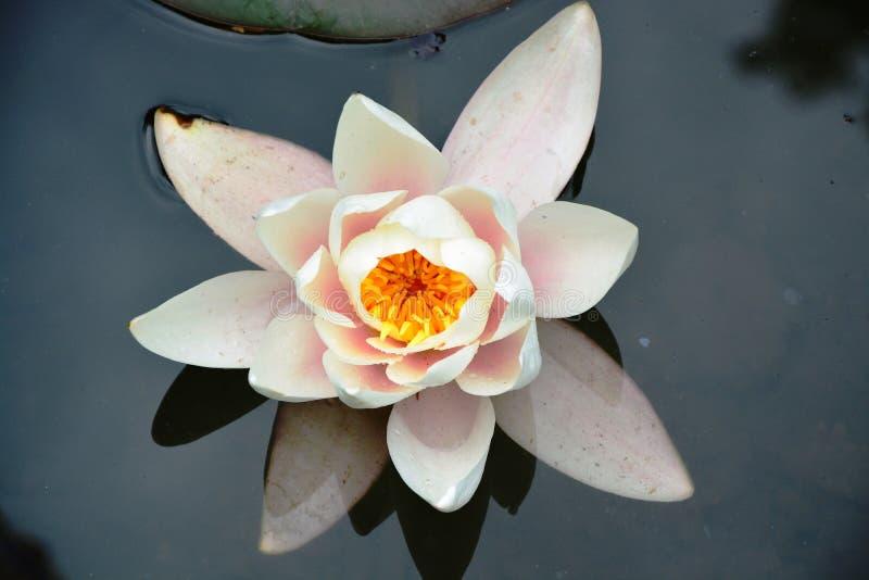 黄睡莲在水盘旋 免版税图库摄影