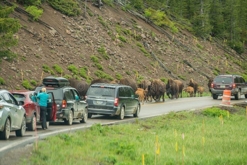黄石国家公园,怀俄明,美国- 2018年6月19日:北美野牛在黄石 在高速公路的果酱由于北美野牛出现  库存图片