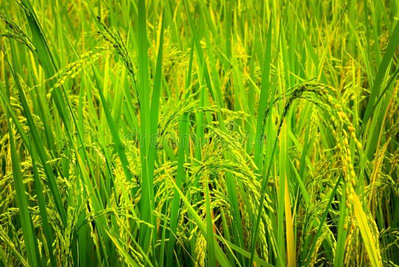 黄绿色米领域有被弄脏的背景 图库摄影