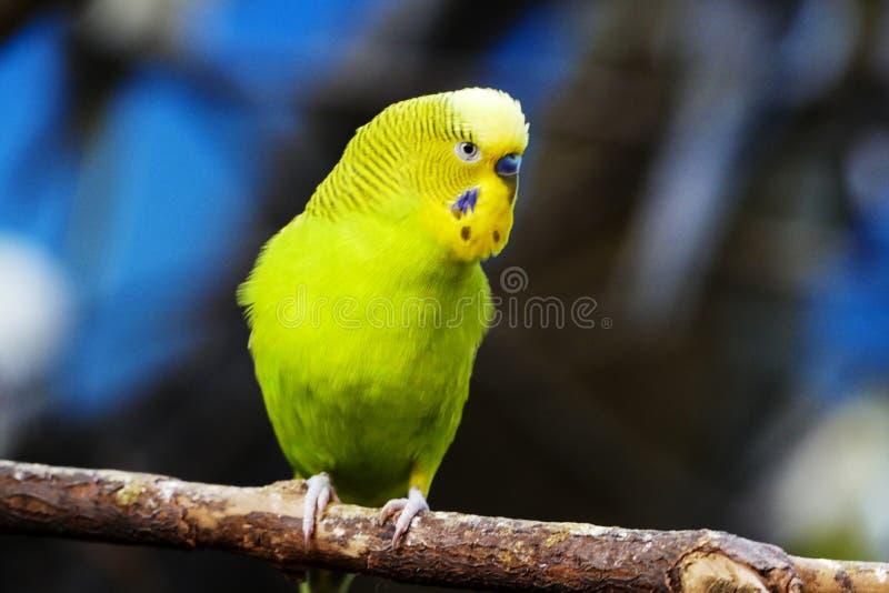 黄绿色Budgie长尾小鹦鹉 免版税库存照片