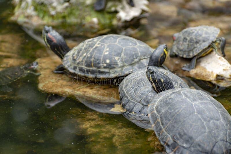 黄腹吸汁啄木鸟的滑子、土地和水乌龟,晒日光浴在池塘 库存照片