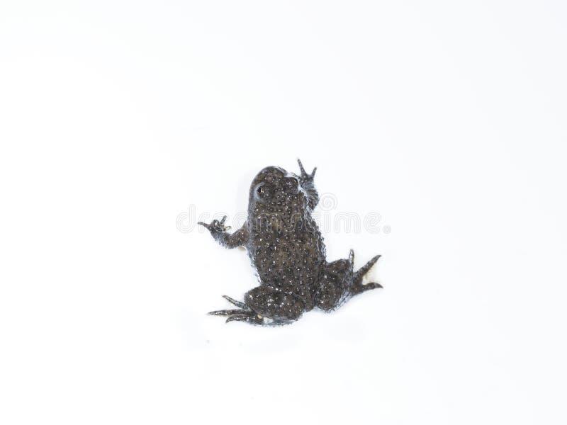 黄腹吸汁啄木鸟的蟾蜍,Bombina variegata 库存图片
